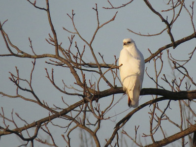 White - Red Tail Hawk