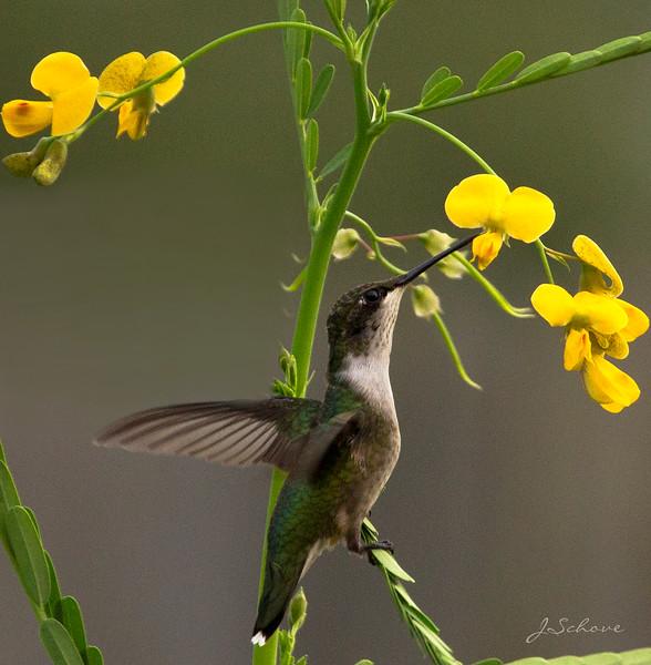 IMAGE: http://jschove.smugmug.com/Nature/Birds/i-Nt2N5qJ/0/L/Hummingbird_4370-L.jpg