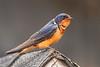 Cliff Swallow Petrochelidon pyrrhonota