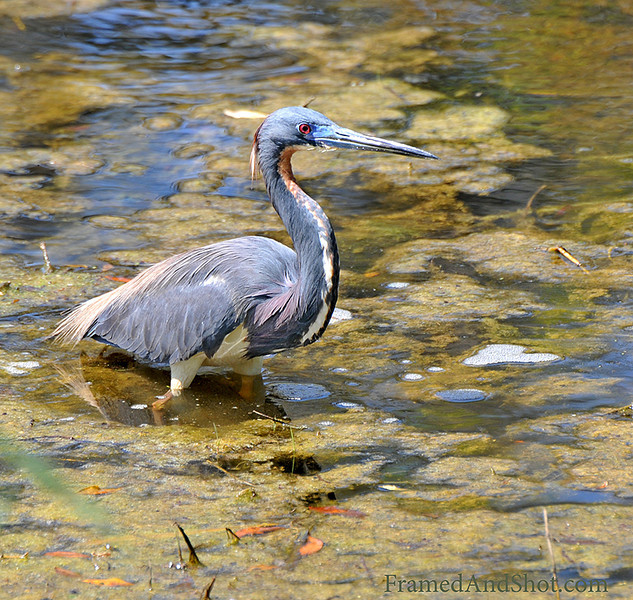 <strong><center>The Great Blue Heron [Ardea herodias]</center></strong> The Great Blue Heron is  the largest North American heron and among herons it is surpassed only by the Goliath Heron and the White-bellied Heron. It has head-to-tail length of 97–137 cm (38–54 in), a wingspan of 167-201 cm (66-79 in) a height of 115–138 cm (45–54 in) and a weight of 2.1–3.3 kg (4.6–7.3 lb). We found this one in Brazos Bend state park in Texas