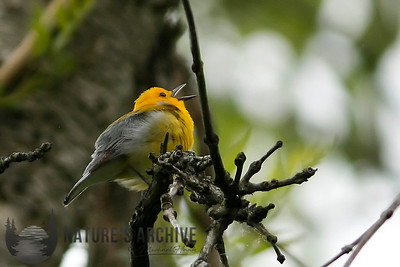 Prothonotary Warbler, Occoquan Bay, VA