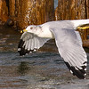 Gull in Flight 2