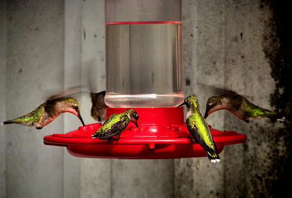 Five female ruby-throated hummingbirds (Archilochus colubris) sharing a feeder (20120710_01452)