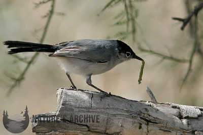 Black-tailed Gnatcatcher, near Tucson, AZ