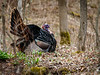 Gobbler in the Spring
