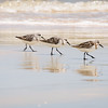 Sandpipers Working the Shoreline