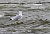 Ring billed Gull - October 2009
