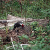 Pileated Woodpecker busy eating