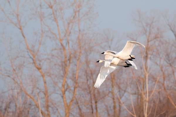 Tundra Swans, Aylmer<br /> <br /> Each spring the Tundra Swans migrate north from Chesapeake Bay to the Arctic.  They stop off for a rest in various areas, one of them is at the Aylmer Wildlife Centre, where I took this shot.