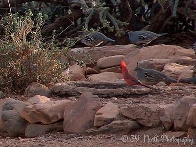 Cardinal and Gambel's Quail Globe, AZ