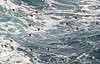 Cape Petrels, Antarctica