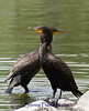 A pair of double-crested cormorants perched on the water's edge.