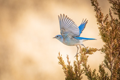 Bluebirds 1770