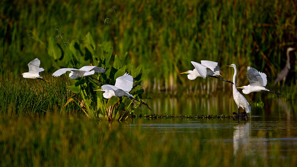 Egrets flying by