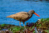 Black Oystercatcher-2
