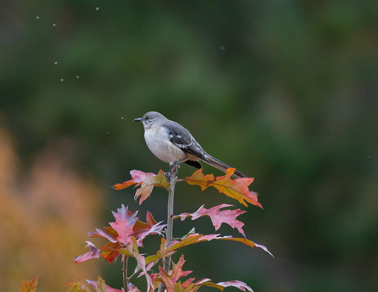 Northern Mockingbird oblivious to gnats flying nearby as he sits on a colorful Red Oak sapling at Tyler State Park.