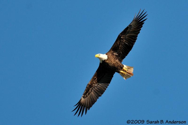 Bald Eagle comes close<br /> Potomac River<br /> Fairfax County, Virginia<br /> February 2009