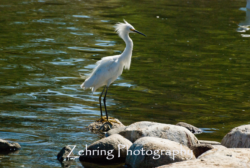 Snowy egret displaying head plumage