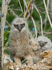 Looking alien-like, this great horned owl chick stands as it stretches in the nest.