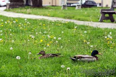 Ducks in Lincoln Park