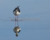 """Mirror, Mirror, in the Water""   Black-necked Stilt (Himantopus mexicanus)"