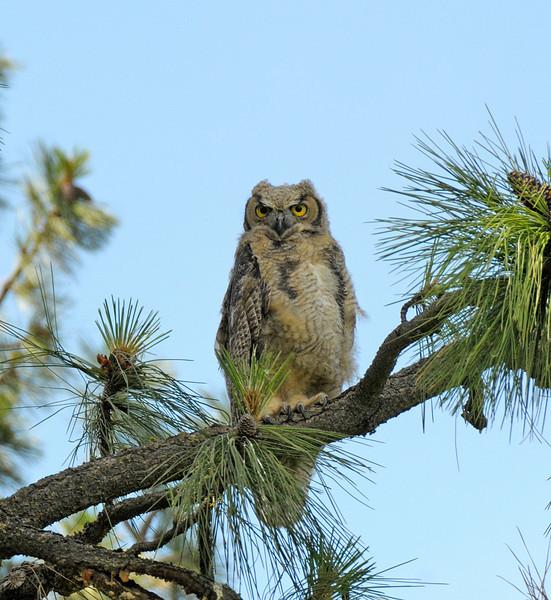 Resident Owl Chick