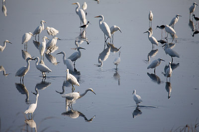 Great Egrets, Snowy Egrets and Black-necked Stilts.  Taken at Rush Creek in Novato, CA.