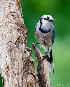 Wet Blue Jay