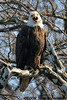 Bald Eagle yawn<br /> Potomac River<br /> Fairfax County, Virginia<br /> February 2009