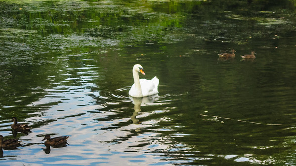 Ducks with Swan