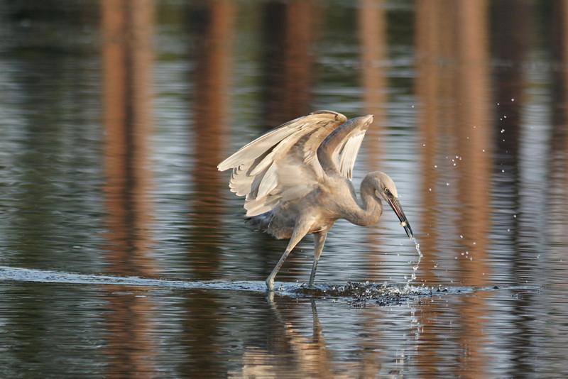 Reddish Egret (Juvenile) - St. Marks NWR, Florida