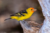 Western Tanager #3-2