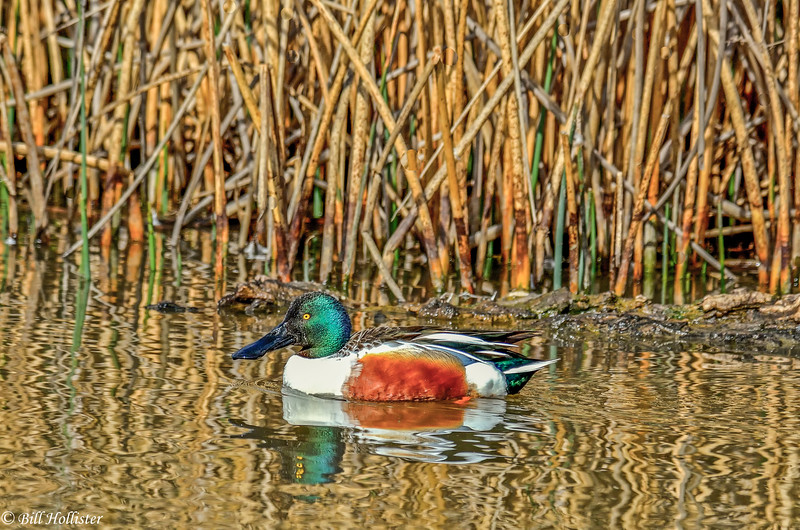 Northern Shoveler Duck at Colusa #3 2-2012