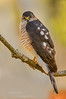 Sharp Shinned Hawk Accipiter striatus