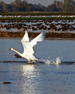 Tundra Swan Take-off