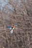 Eastern Bluebird male, Beaver Marsh, 3/18/2010.