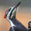 """ Female Pileated Woodpecker 3   (Dryocopus pileatus) '"