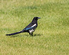 Magpie, Southern Alberta