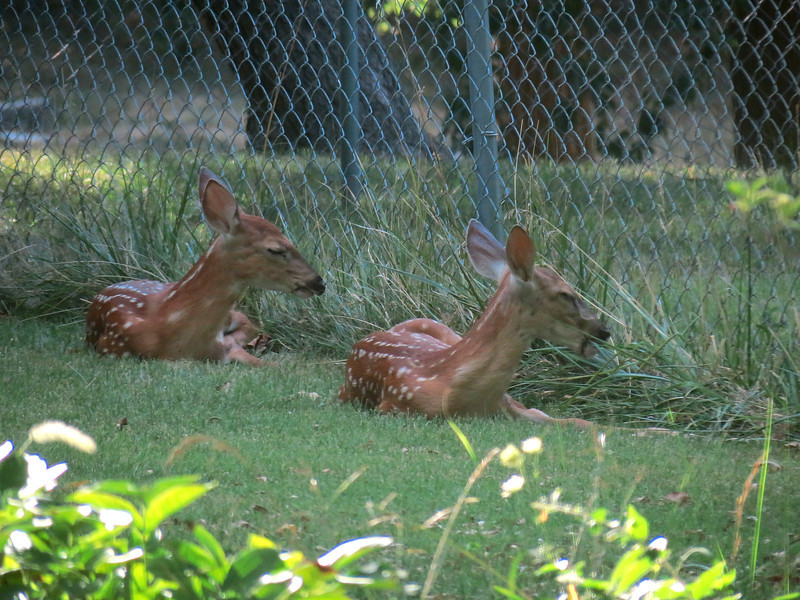 This was taken at about 5 p.m. when the mother deer had dropped the twins <br /> off in the backyard to stay out of trouble and take a nap. It was very hot that afternoon.<br /> Taken through two glass doors but I think it turned out OK.