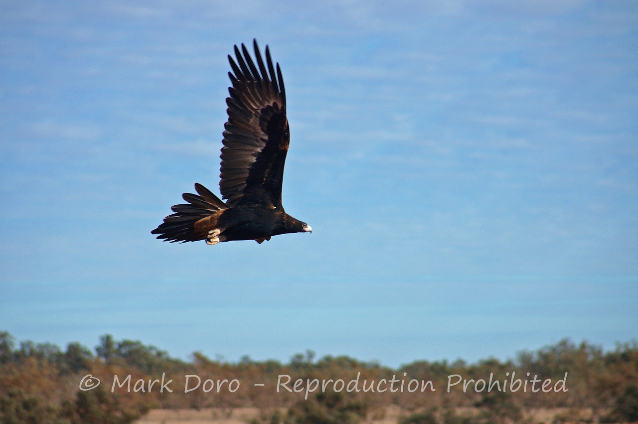 Wedgetail Eagle, near Innamincka