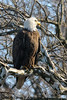 bird of prey knows it's cool<br /> Bald Eagle, Potomac River<br /> Fairfax County, Virginia<br /> February 2009