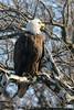 bird of prey knows it's cool<br /> Bald Eagle, Potomac River<br /> Fairfax County, Virginia<br /> February 2009