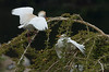 Cattle Egrets, San Diego, California