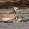 Piping Plover and Chick  This photograph is protected by the U.S. Copyright Laws and shall not to be downloaded or reproduced by any means without the formal written permission of Bob Arkow Photography.