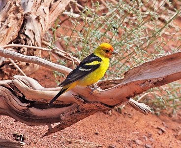 Western Tanager in Monument Valley