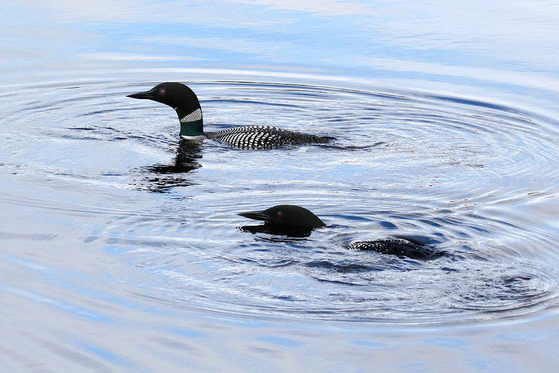 Two Loons are Better Than One