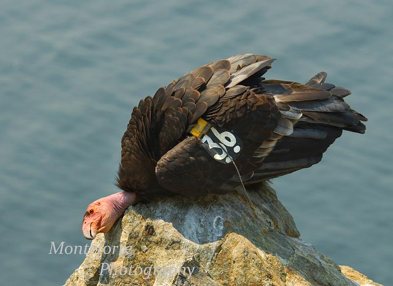 California Condor Gymnogyps californiaus