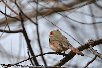 Female Cardinal listening for the right guy  Occoquan NWR Woodbridge, VA March 2011
