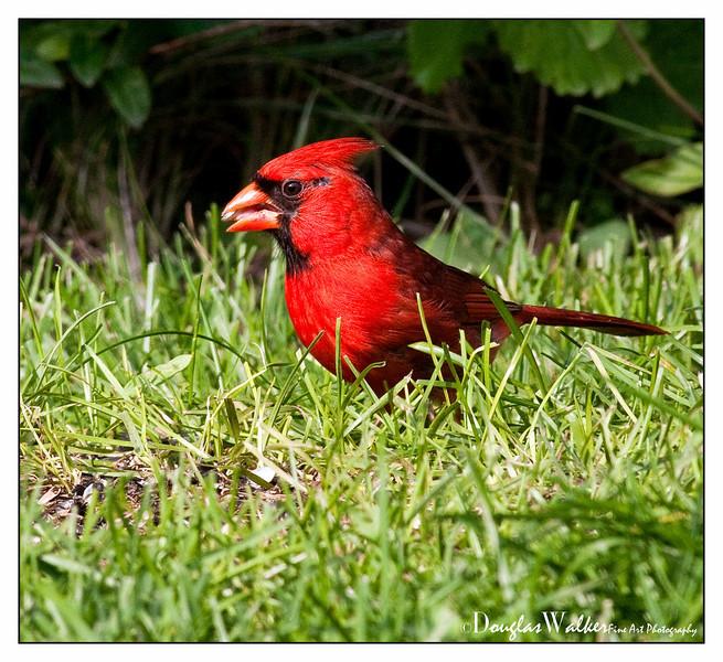 Northern Cardinal<br /> (Cardinalis cardinalis)