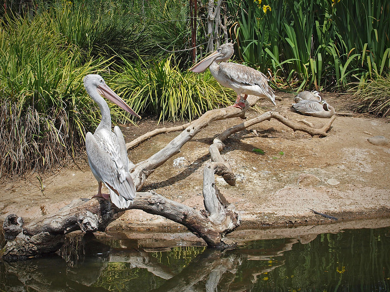 Pink-backed Pelicans at Wild Animal Park - 11 Apr 2010